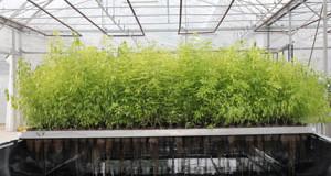 Lorraine – la « plante à traire » va faire croître la filière des biomolécules végétales