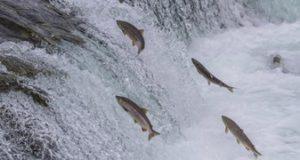 A Strasbourg, EDF ouvre une rivière de contournement aux saumons du Rhin