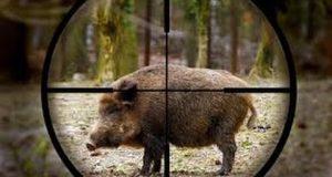 Peste porcine : l'Etat va créer une zone blanche