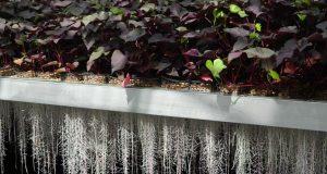 Traire des plantes par les racines pour maquiller, soigner, etc.