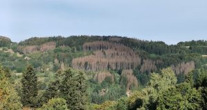Vosges: le scolyte ravage l'équilibre des marchés du bois